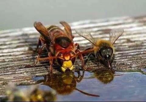 albine,lupul albinelor